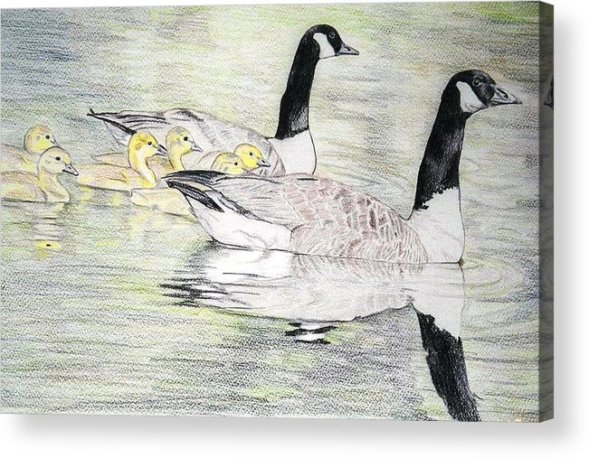 Canadian Geese Acrylic Print featuring the drawing Family Outing by Debra Sandstrom