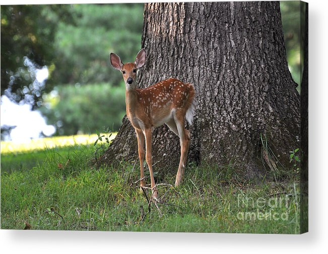 Fawn Acrylic Print featuring the photograph Fawn by Todd Hostetter