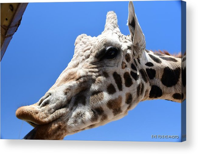 Giraffe Acrylic Print featuring the photograph Feed Me by Lyle Barker
