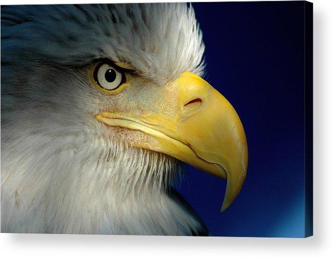 Wildlife Eagles Alaska Acrylic Print featuring the photograph Female Bald Eagle Alaska by K C Lynch