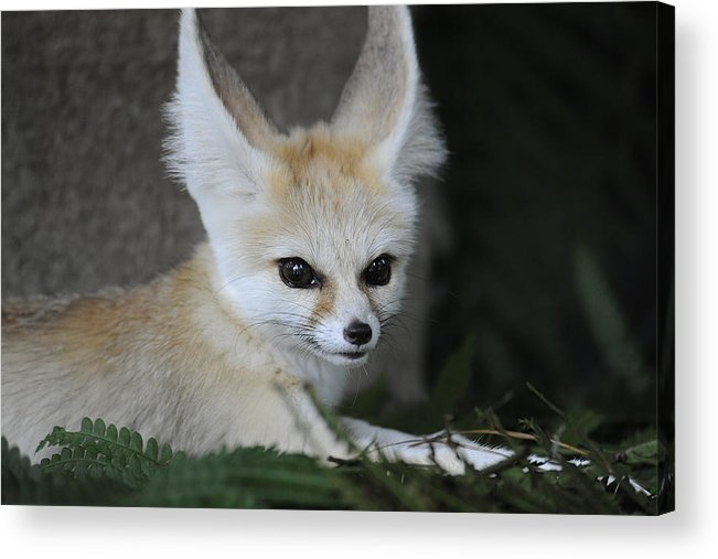 Africa Acrylic Print featuring the photograph Fennec Fox by Keith Lovejoy