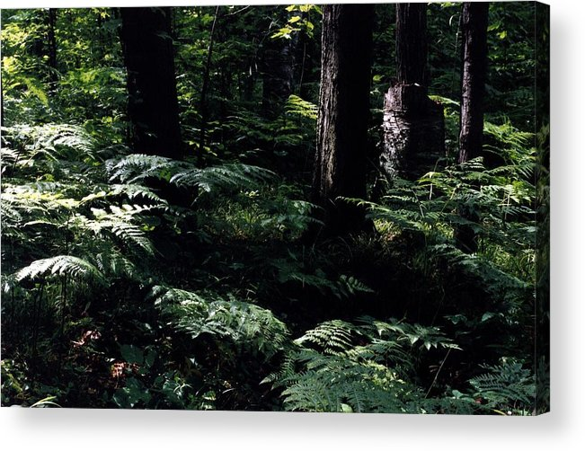 Forest Acrylic Print featuring the photograph Ferns In The Forest Wc by Lyle Crump