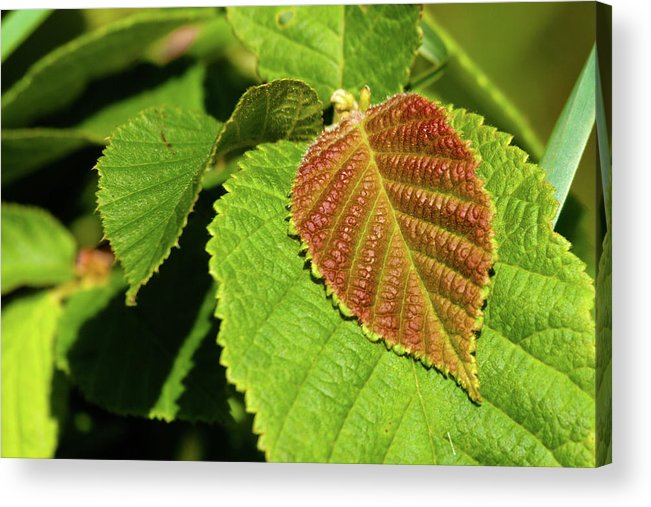 Hazelnut Acrylic Print featuring the photograph Filbert Leaf by Grant Groberg