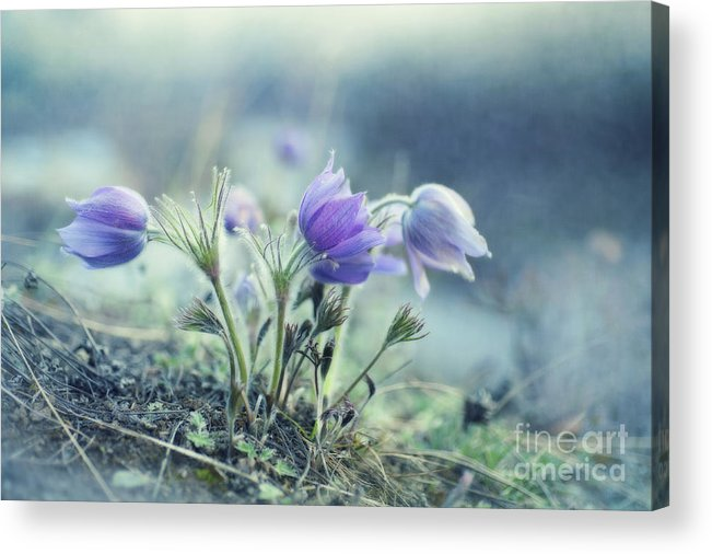 Pulsatilla Vulgaris Acrylic Print featuring the photograph Finally Spring by Priska Wettstein