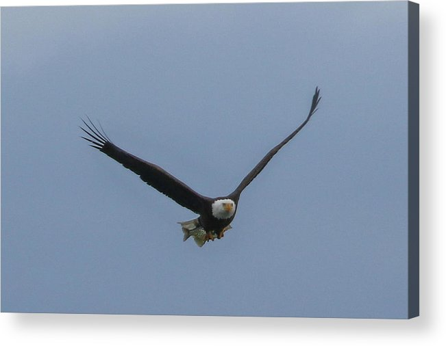 Eagle Flying Acrylic Print featuring the photograph Fish Delivery by Debbie Storie