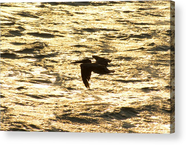 Bird Acrylic Print featuring the photograph Flight Of The Pelican by Andreas Freund