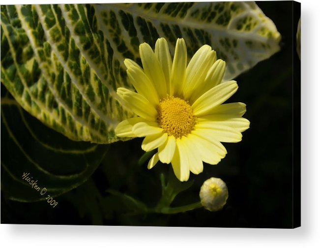 Daisy Acrylic Print featuring the photograph Floating Daisy by Lyle Huisken