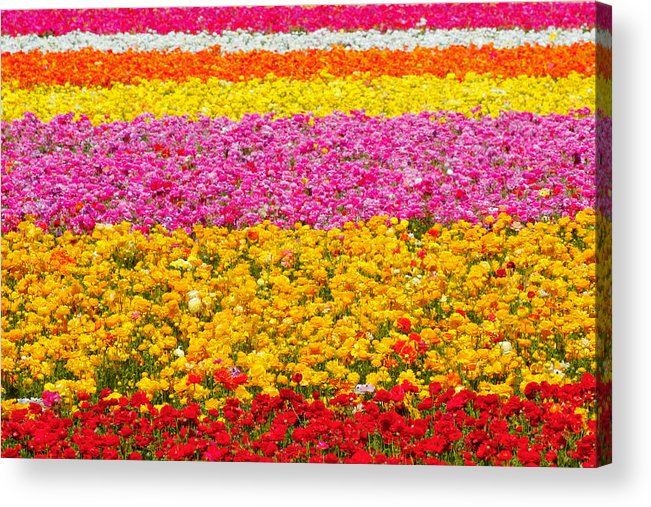Flower Acrylic Print featuring the photograph Flower Fields Carlsbad Ca Giant Ranunculus by Christine Till