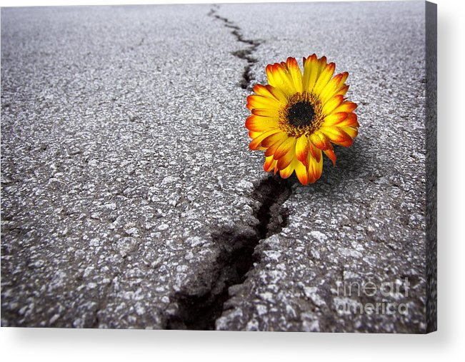 Abstract Acrylic Print featuring the photograph Flower In Asphalt by Carlos Caetano
