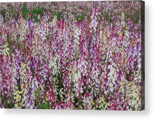 Field Of Flowers Acrylic Print featuring the photograph Flowers Forever by Carol Groenen