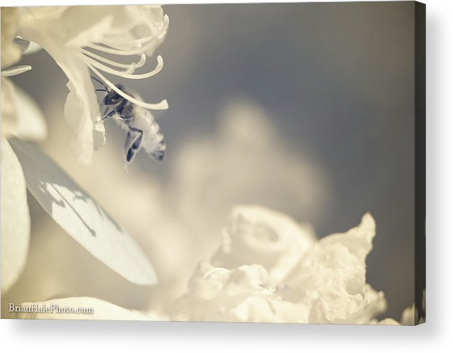 Ir Infrared Infra Red 720nm Bee Bees Apiary Flying Flight Aerial Insect Closeup Close Up Close-up Brian Hale Brianhalephoto Acrylic Print featuring the photograph Flying In Infrared by Brian Hale