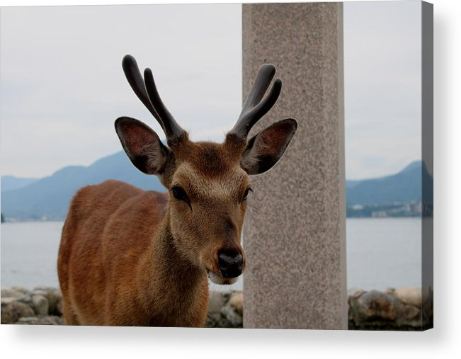 Deer Acrylic Print featuring the photograph Focus Deer by Perggals - Stacey Turner
