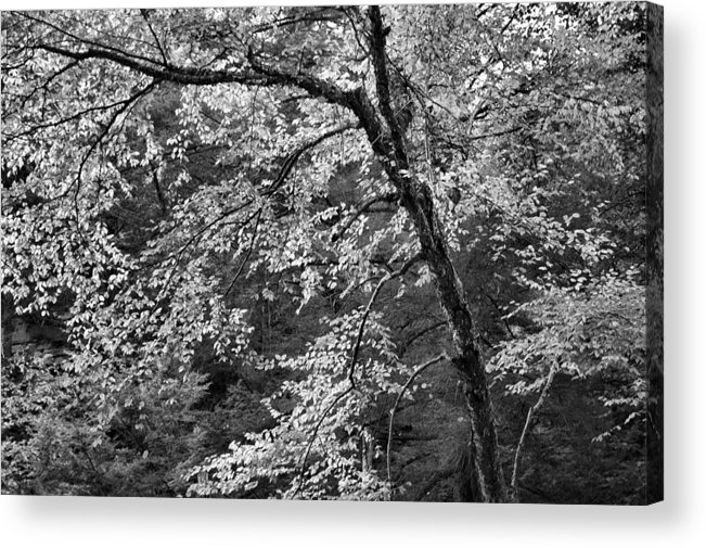 Forest Acrylic Print featuring the photograph Forest Light by Stephen Vecchiotti
