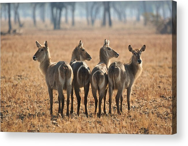 Africa Acrylic Print featuring the photograph Four Waterbucks by Johan Elzenga