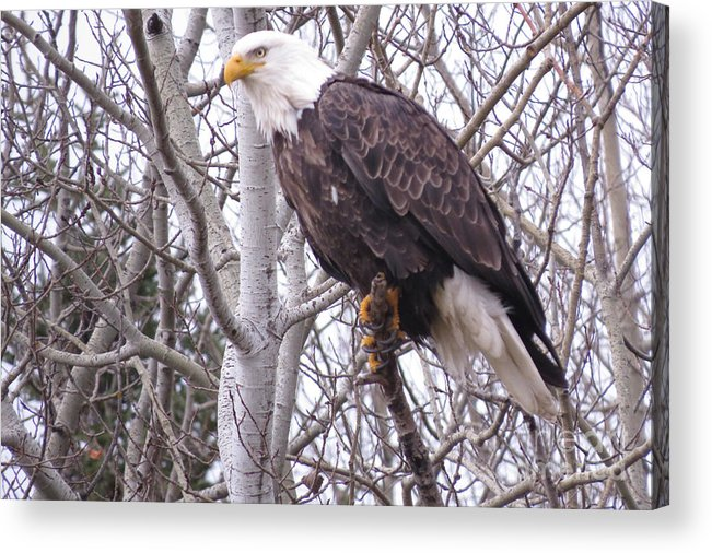 Photograph Acrylic Print featuring the photograph Full Bald Eagle by Mary Mikawoz
