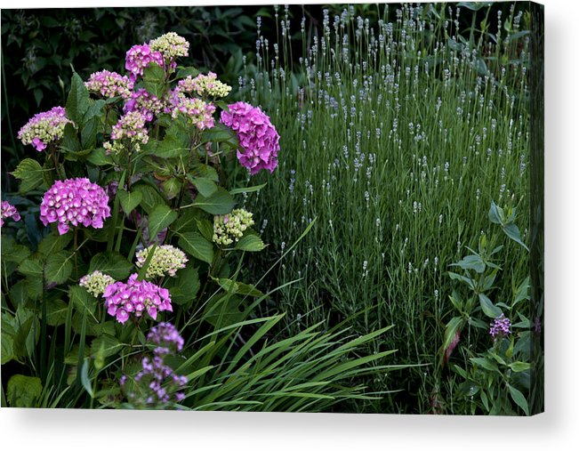 Hydrangea Acrylic Print featuring the photograph Garden by Michael Carlucci