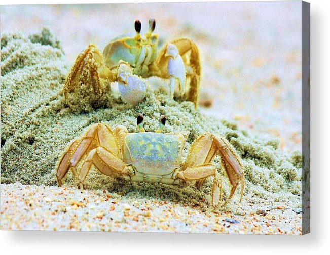 Ghost Crabs Acrylic Print featuring the photograph Ghost Crabs by Paulette Thomas