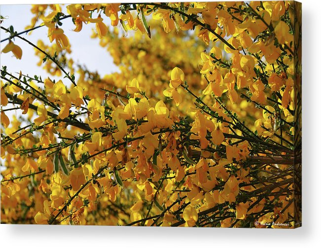 Ginestra Acrylic Print featuring the photograph Ginestre by Ilaria Andreucci