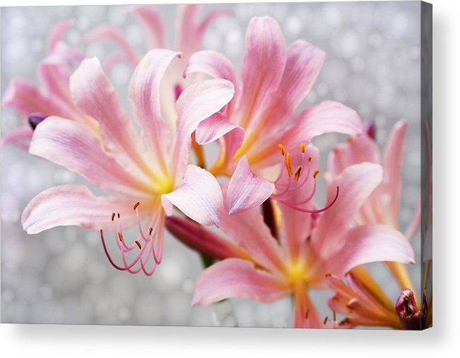 Lily Acrylic Print featuring the photograph Glowing Surprise Lily by Jim Darnall