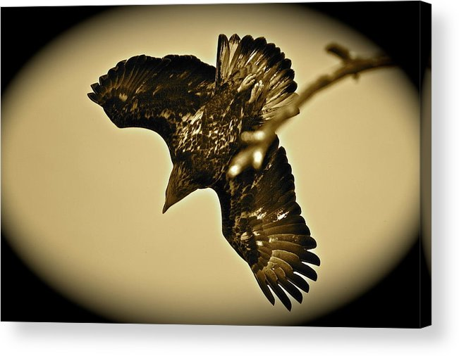 Bird Acrylic Print featuring the photograph Going Hunting by Diana Hatcher