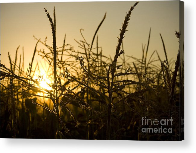 Golden Acrylic Print featuring the photograph Golden Corn by Idaho Scenic Images Linda Lantzy