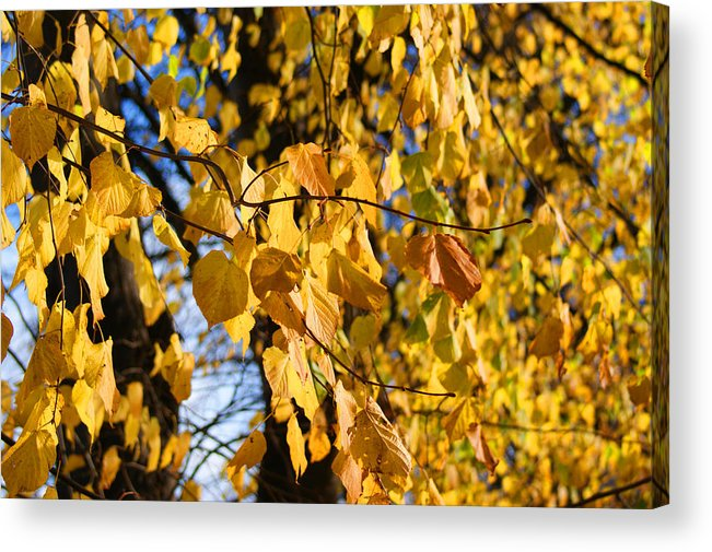 Autumn Acrylic Print featuring the photograph Golden Leaves by Carol Lynch