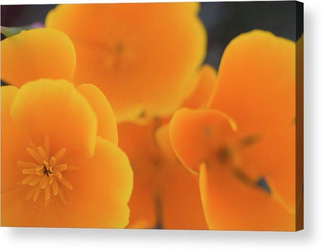 California Acrylic Print featuring the photograph Golden Poppies by Roger Mullenhour