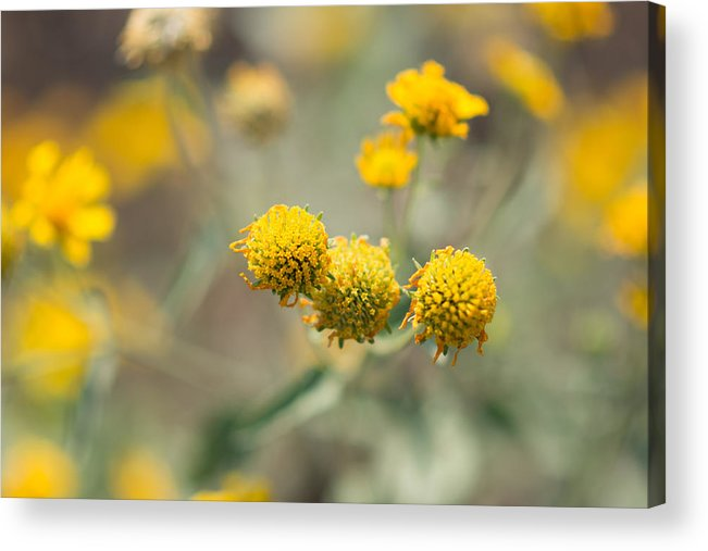 Yellow Acrylic Print featuring the photograph Golden Wildflowers by Sharon Wunder Photography