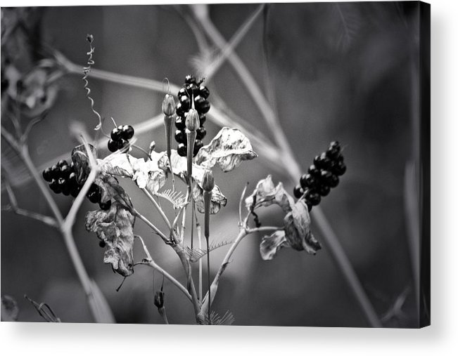 Flower Acrylic Print featuring the photograph Gone To Seed Berries And Vines by Teresa Mucha