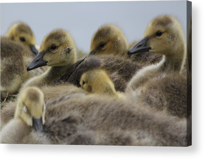 Geese Acrylic Print featuring the photograph Gosling Gaggle by Lauri Novak