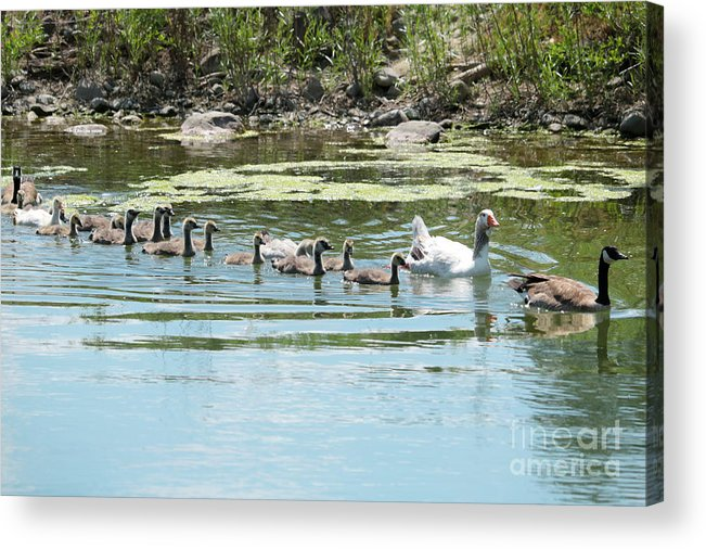 Geese Acrylic Print featuring the photograph Goslings In A Row by Carol Groenen