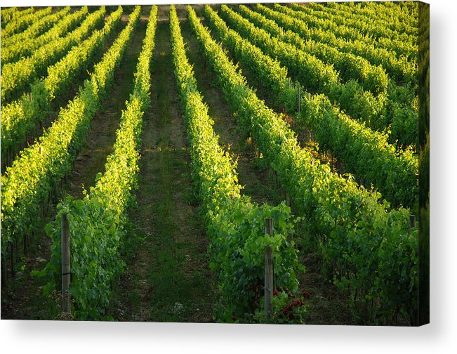 Gulf Islands Acrylic Print featuring the photograph Grape Vines by Kevin Oke