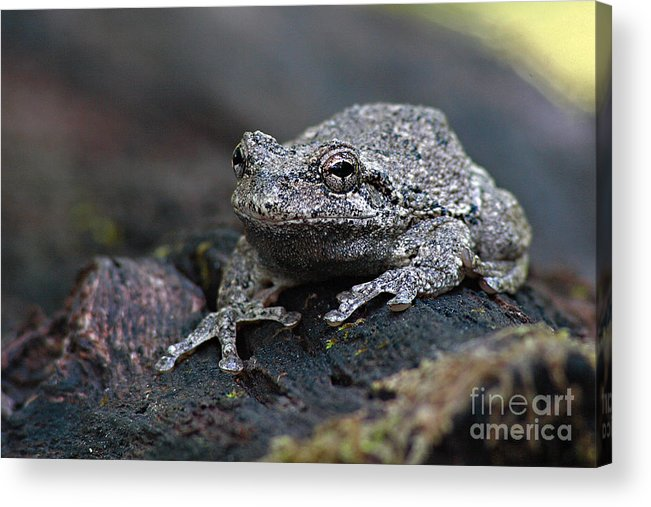 Frog Acrylic Print featuring the photograph Gray Treefrog On A Log by Max Allen