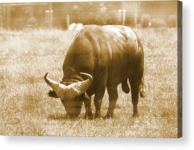 Buffalo Acrylic Print featuring the photograph Grazing by Barbara White