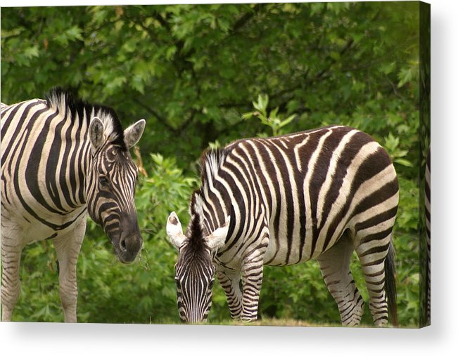 Animal Acrylic Print featuring the photograph Grazing Zebras by Sonja Anderson