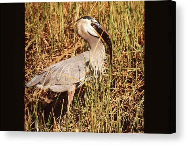 Great Blue Heron Acrylic Print featuring the photograph Great Blue Heron by Nicole Anderson