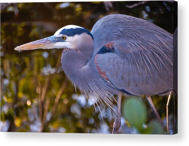 Heron Acrylic Print featuring the photograph Great Blue Heron by Rich Leighton