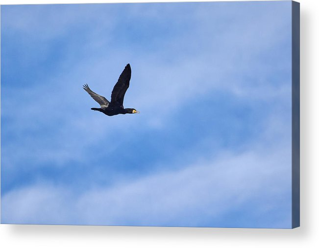 Jouko Lehto Acrylic Print featuring the photograph Great Cormorant by Jouko Lehto