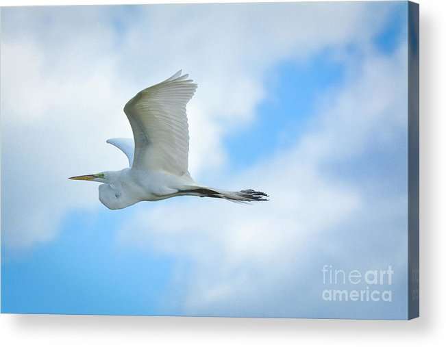 Great Acrylic Print featuring the photograph Great White In Flight by Quinn Sedam