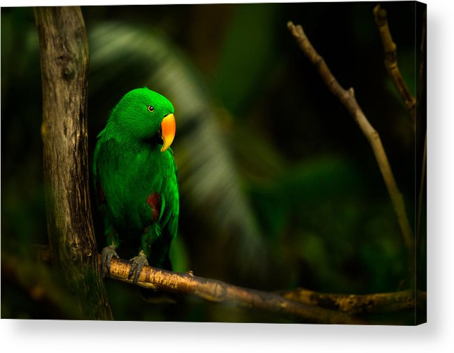 Bloedel Flora Bird Conservatory Acrylic Print featuring the photograph Green Eclectus Parrot Male by Peter v Quenter