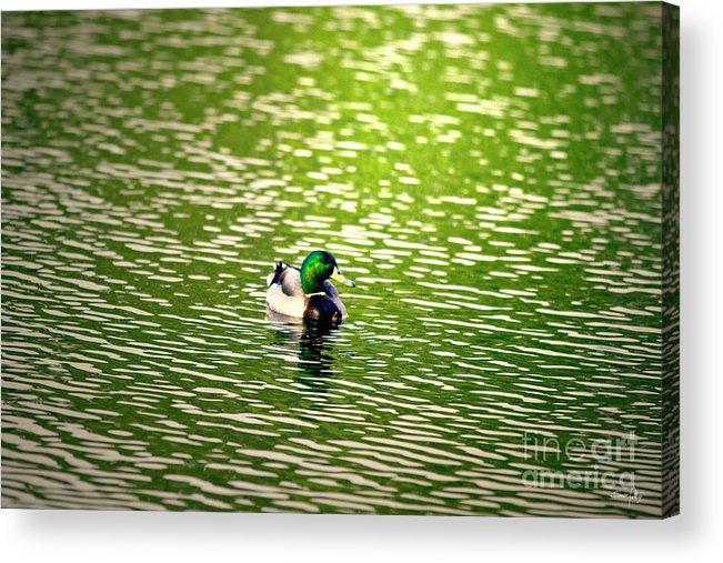 Mallard Acrylic Print featuring the photograph Green Head by Scott Pellegrin