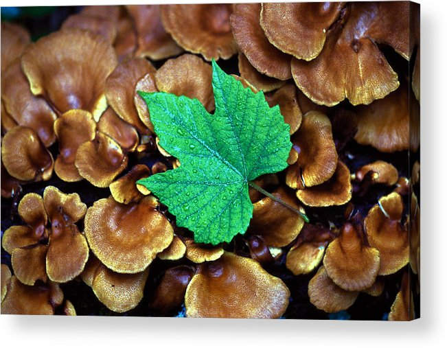 Nature Acrylic Print featuring the photograph Green Leaf On Fungus by Carl Purcell
