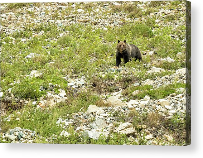 Grizzly Bear Acrylic Print featuring the photograph Grizzly Watching People Watching Grizzly No. 2 by Belinda Greb