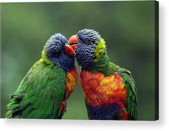 Lorikeets Acrylic Print featuring the photograph Grooming In The Rain by Lesley Smitheringale