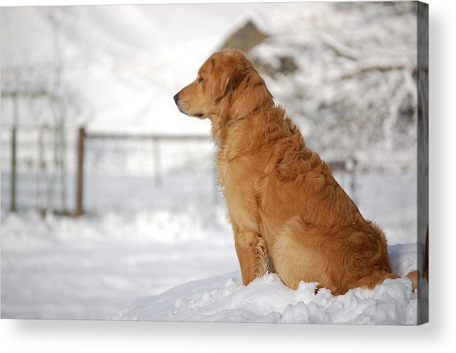 Golden Retriever Acrylic Print featuring the photograph Guard by Laura Mountainspring