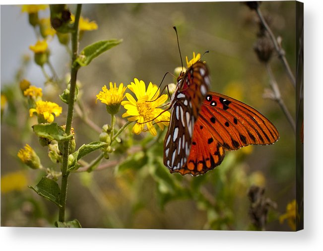 Gulf Fritillary Acrylic Print featuring the photograph Gulf Fritillary Agraulis Vanillae Red Butterfly by Dustin K Ryan