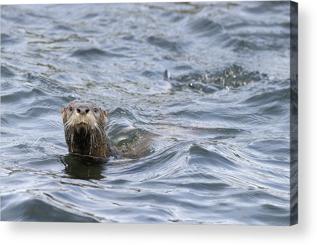 Gulf Islands Acrylic Print featuring the photograph Gulf Islands Otter by Kevin Oke