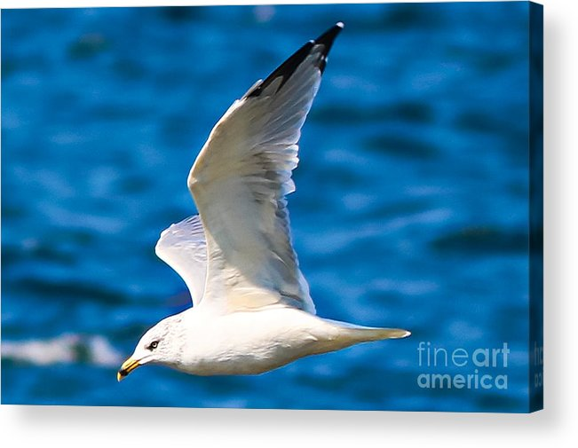 Gull Acrylic Print featuring the photograph Gull Flying by Amber D Hathaway Photography