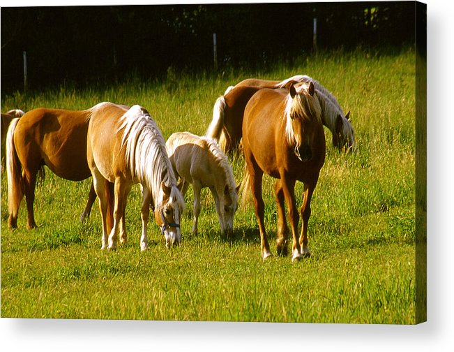 Horses Acrylic Print featuring the photograph Halflinger Horses by Roger Soule