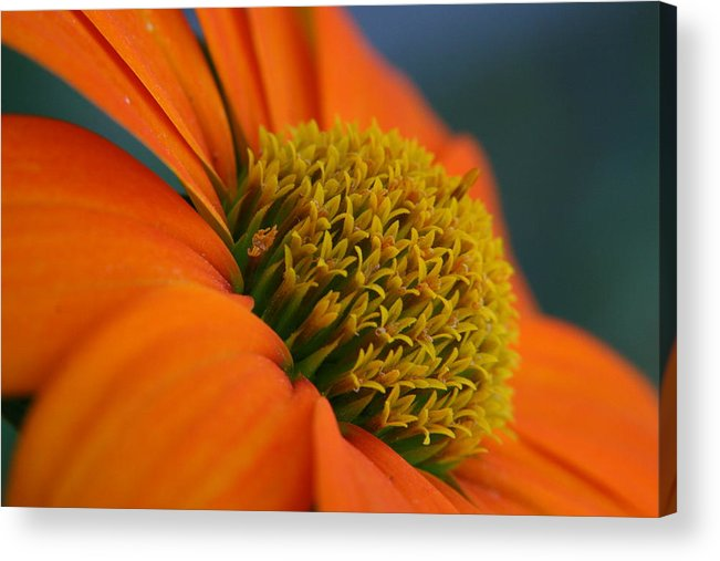 Orange Flower Acrylic Print featuring the photograph Happy by Linda Russell